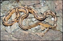 Bogertophis subocularis 1