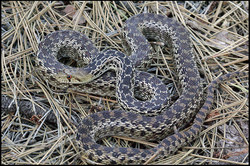 Pituophis catenifer annectens 1
