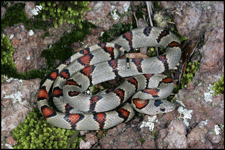 Lampropeltis mexicana greeri 2