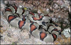 Lampropeltis mexicana greeri 1