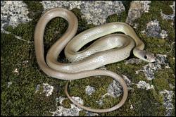 Coluber constrictor mormon 1