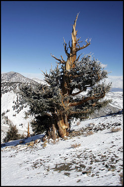 Bristlcone Pine 1