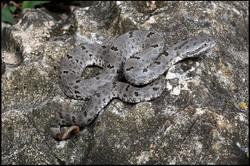 Crotalus lepidus morulus 7