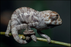 Chameleo paradalis 1