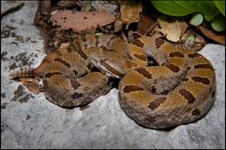 Crotalus lepidus morulus 8c