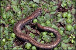 Batrachoseps simatus 4