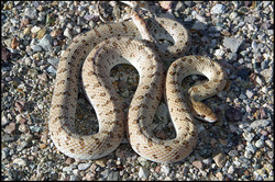 Arizona elegans candida 1