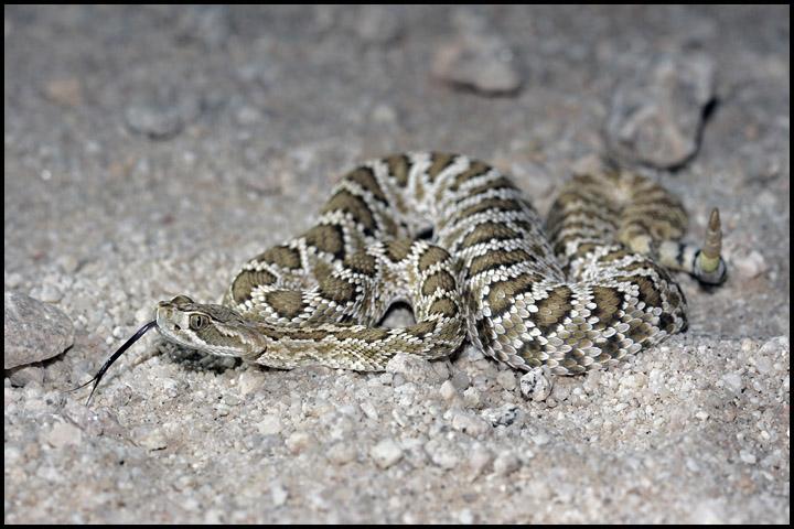 Crotalus scutulatus scutulatus 3