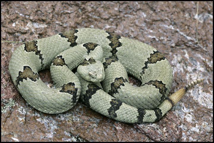 Crotalus lepidus klauberi 4