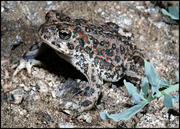 Bufo boreas halophilus 1