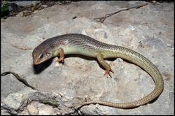 Plestiodon obsoletus 1