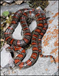 Lampropeltis mexicana mexicana 6