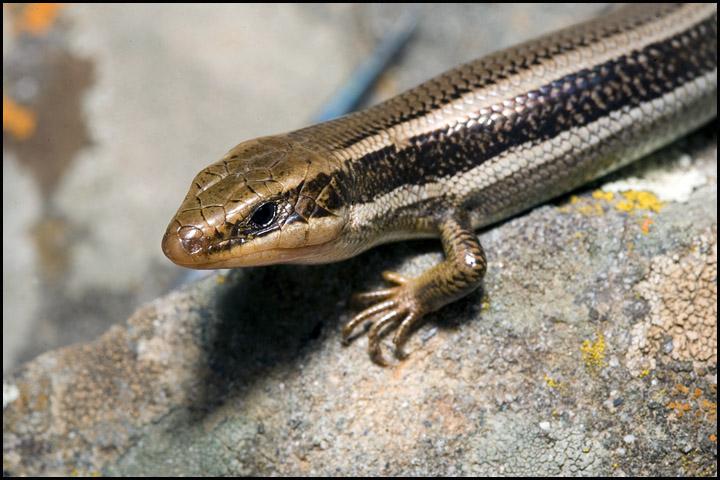 Plestiodon skiltonianus 3