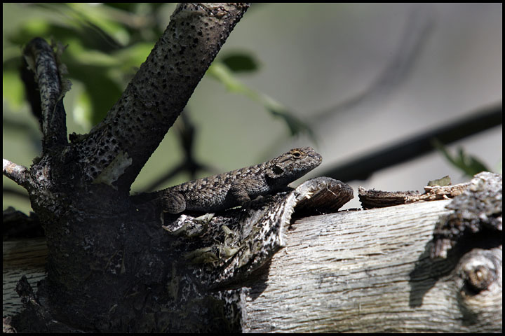 Sceloporus occidentalis