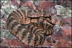 Crotalus tigris 2