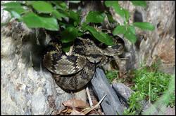Crotalus molossus molossus 2