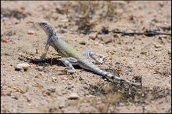 Callisaurus draconoides rhodostictus 1