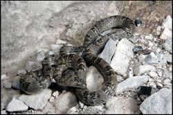 Trimorphodon tau tau 2