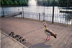 Goslings, Victoria Park