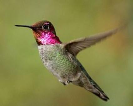 annas_hummingbird_sim_1