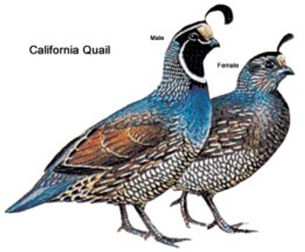 california_quail_graphic