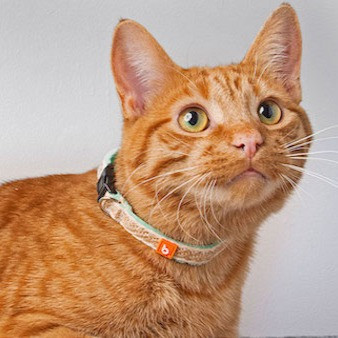 Orange cat wears a breakaway collar.
