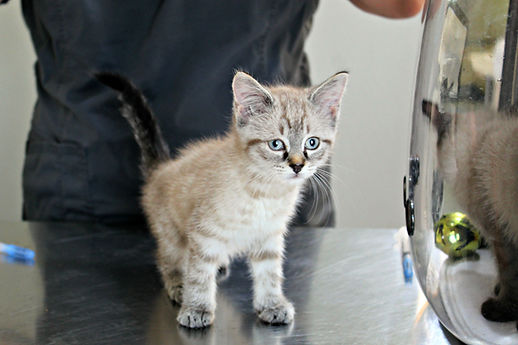 Small kitten sits on metal table