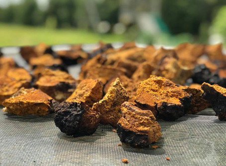 Why Chaga is Quickly Becoming the Next Superfood