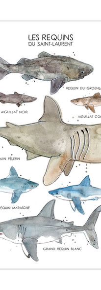 Requins du St-Laurent