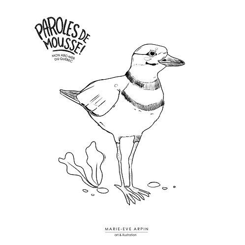 COLORIAGE - le Pluvier / Parole de Mousse!
