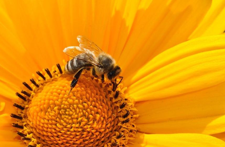 Weltbienentag: Ein ganzer Tag für ein kleines Nutztier