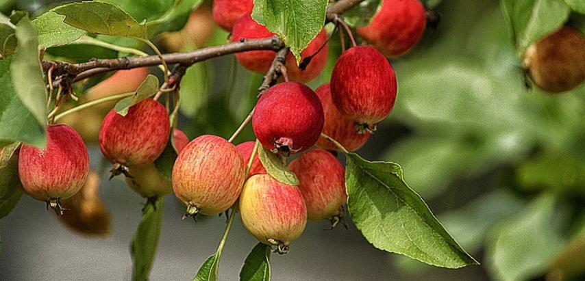 Obstbaukunde für Profis und Hobbygärnter