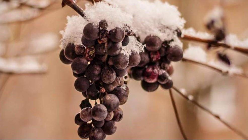 Der Weinjahrgang 2019 wird hierzulande als der erste Jahrgang in die Geschichte eingehen, in dem die Eisweinlese bundesweit ausgefallen ist. (© McNic/stock.adobe.com)