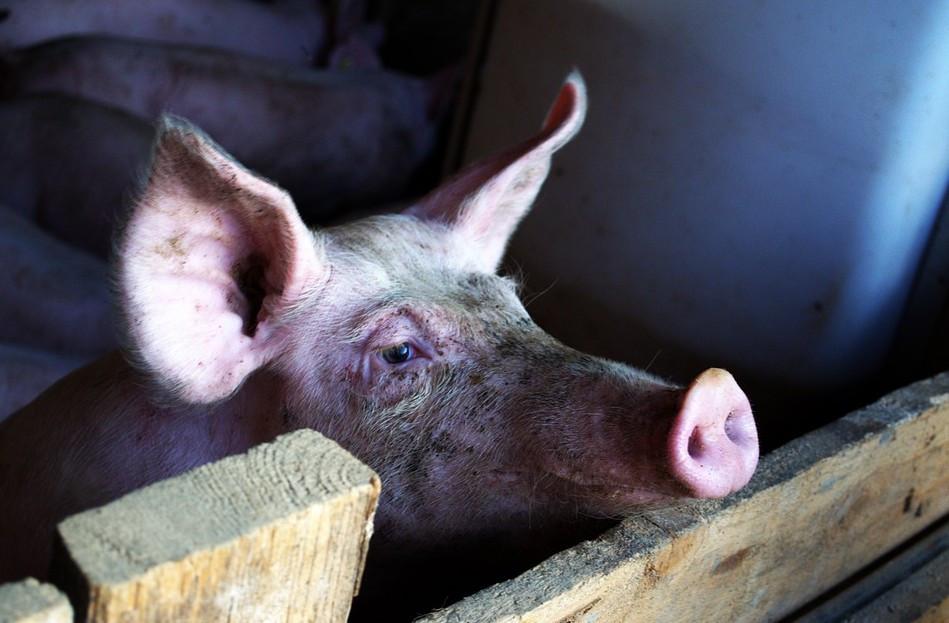 VIER PFOTEN startet Online-Protest gegen staatliches Tierwohllabel