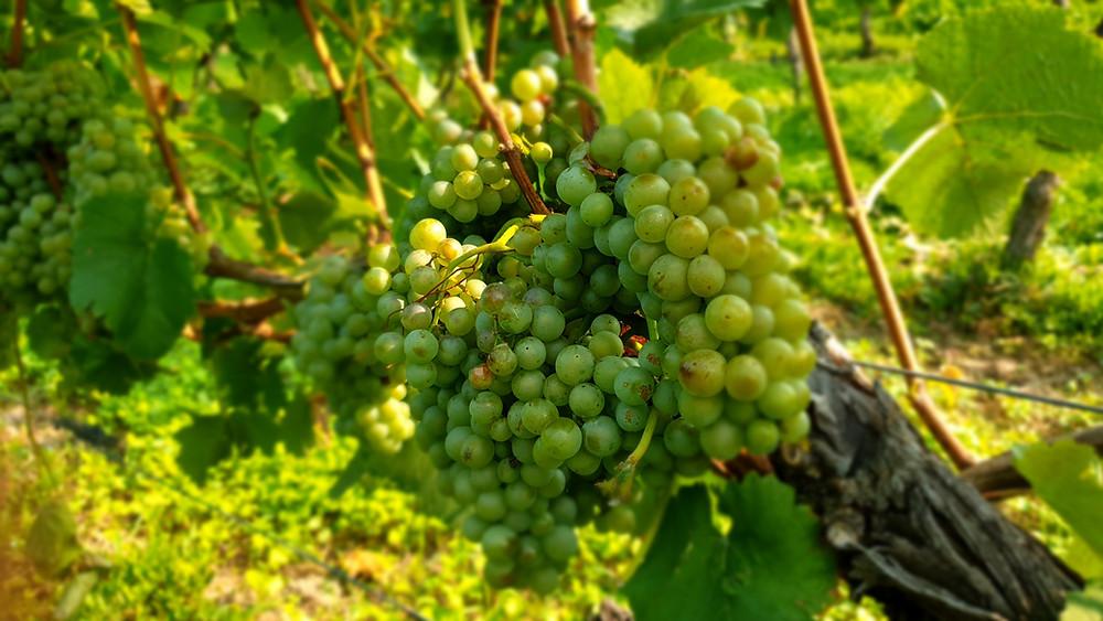 Wohin in Dresden und Umgebung,Was ist los in Dresden und Umgebung,Radebeul,Weinverkostung,Höflößnitz