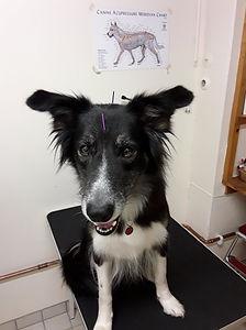 Akupunktur djur.jpg