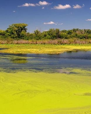 Lime green algae floating in forest pond.jpg