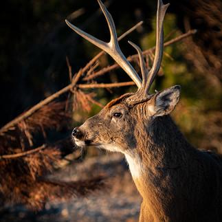 DeerProfile.jpg