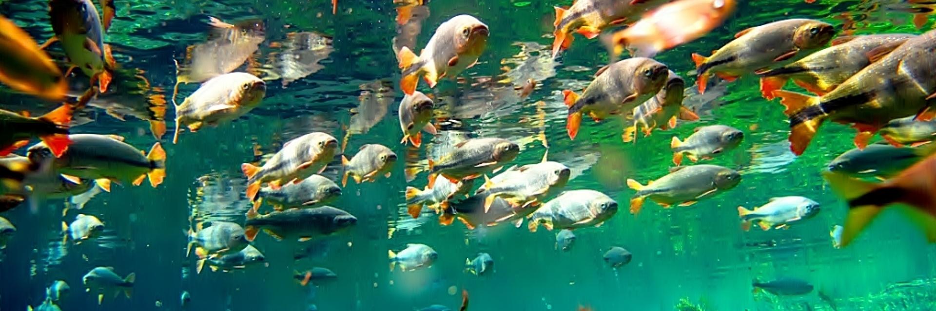 peixes-pantanal_1920_639_s_c1.jpg