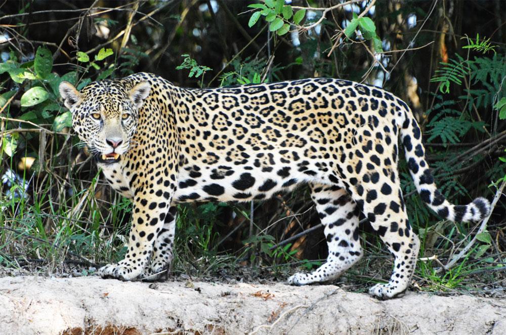 Onças-pintadas no Pantanal