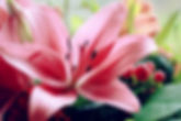 lily-3292433_960_720.jpg