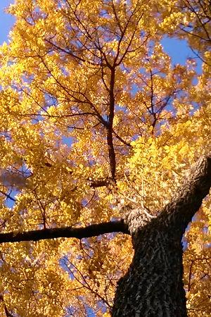 Golden Elm