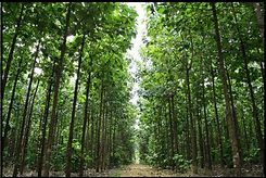 MALU GROUP MALU PLANTATIONS