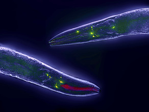 No way. Siberian nematodes have survived 40,000 years of cryogenic freeze.