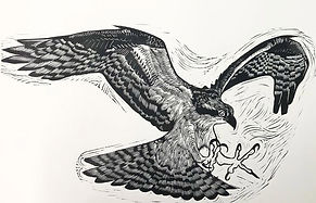2.Osprey.Jonah Evans .jpg