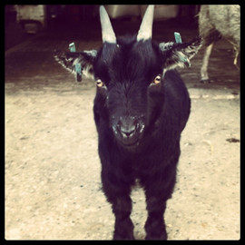 Jp the goat #naughties #pygmygoat #tiny