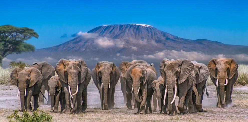 amboseli-elephants-990x490