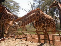 the-giraffe-centre-feeding