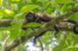 howler-monkey-2295248_1920.jpg