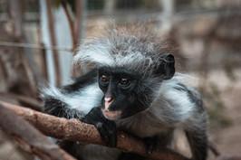 Monkey with wild hair
